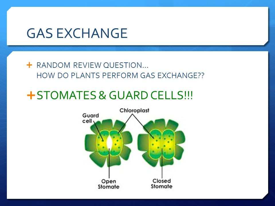 GAS EXCHANGE STOMATES & GUARD CELLS!!!