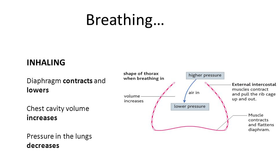 Breathing… INHALING Diaphragm contracts and lowers