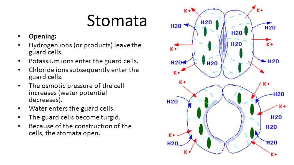 Stomata Opening: Hydrogen ions (or products) leave the guard cells.