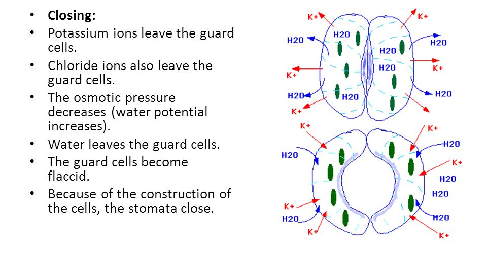 Closing: Potassium ions leave the guard cells. Chloride ions also leave the guard cells.