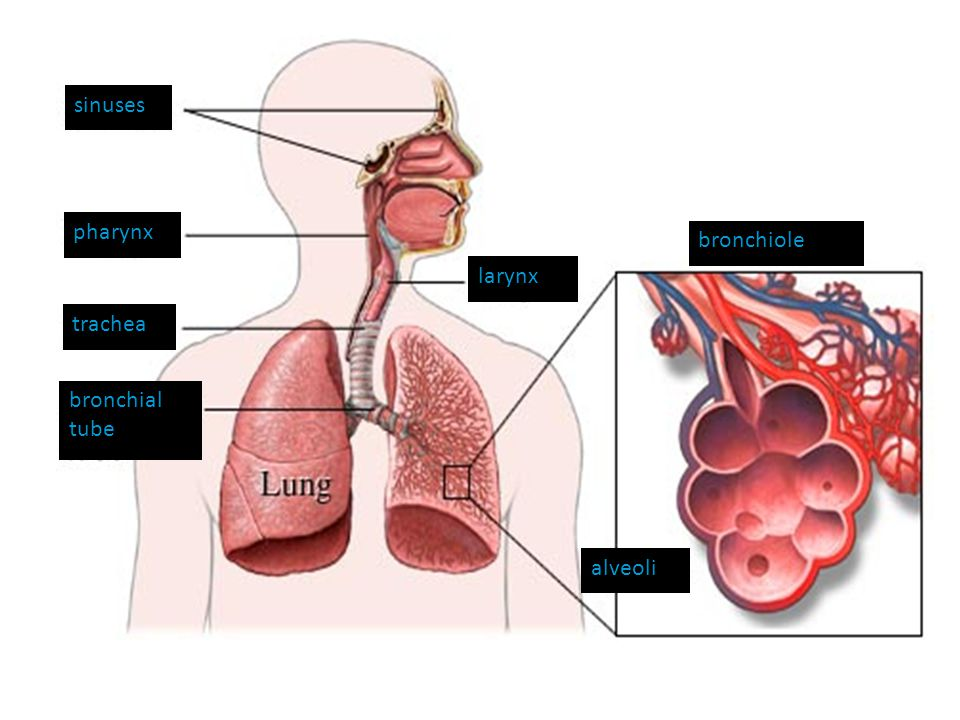 larynx bronchiole sinuses pharynx trachea alveoli bronchial tube