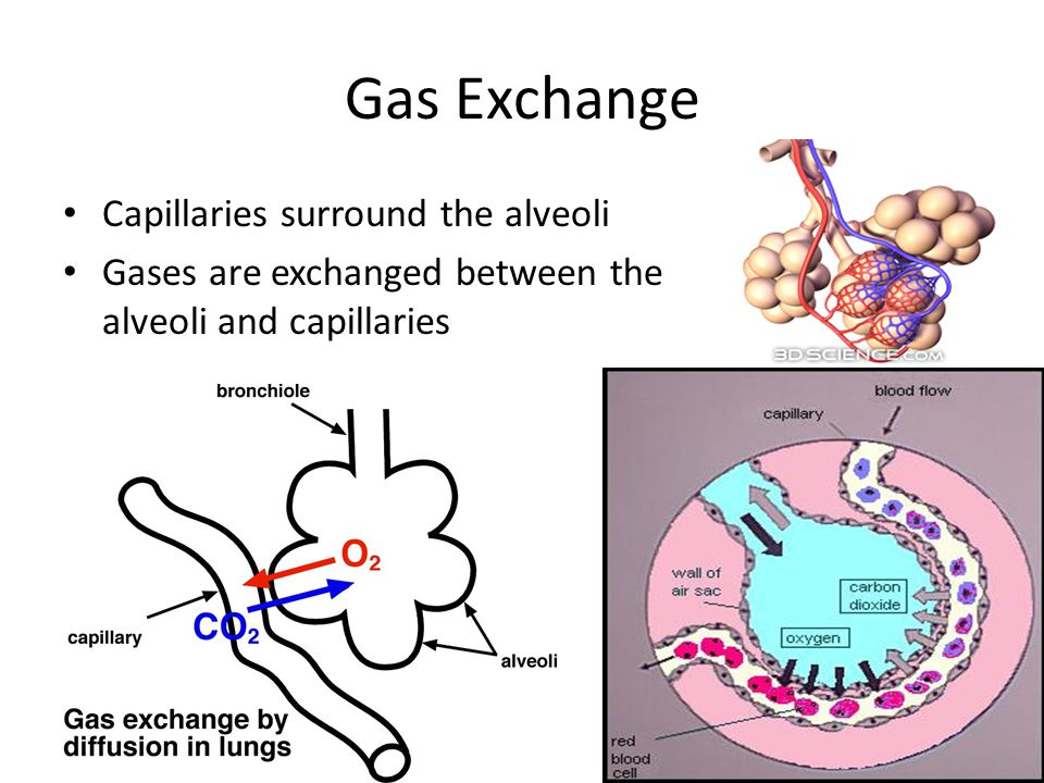 Gas Exchange Capillaries surround the alveoli