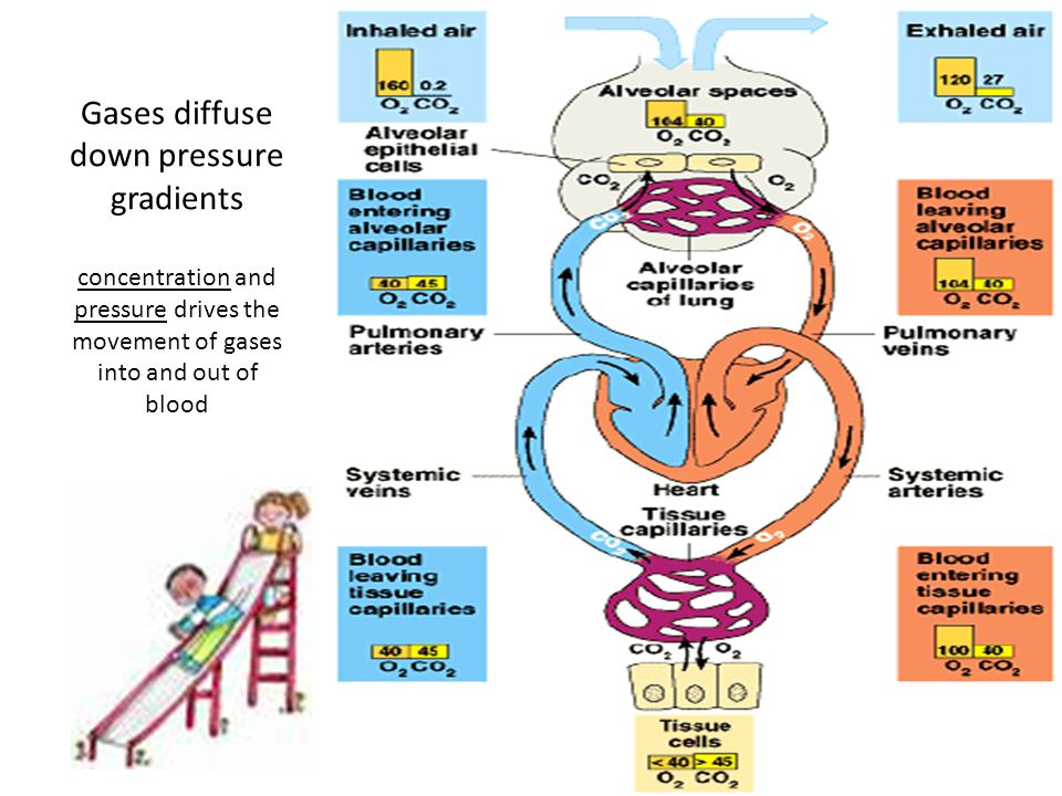 Gases diffuse down pressure gradients concentration and pressure drives the movement of gases into and out of blood