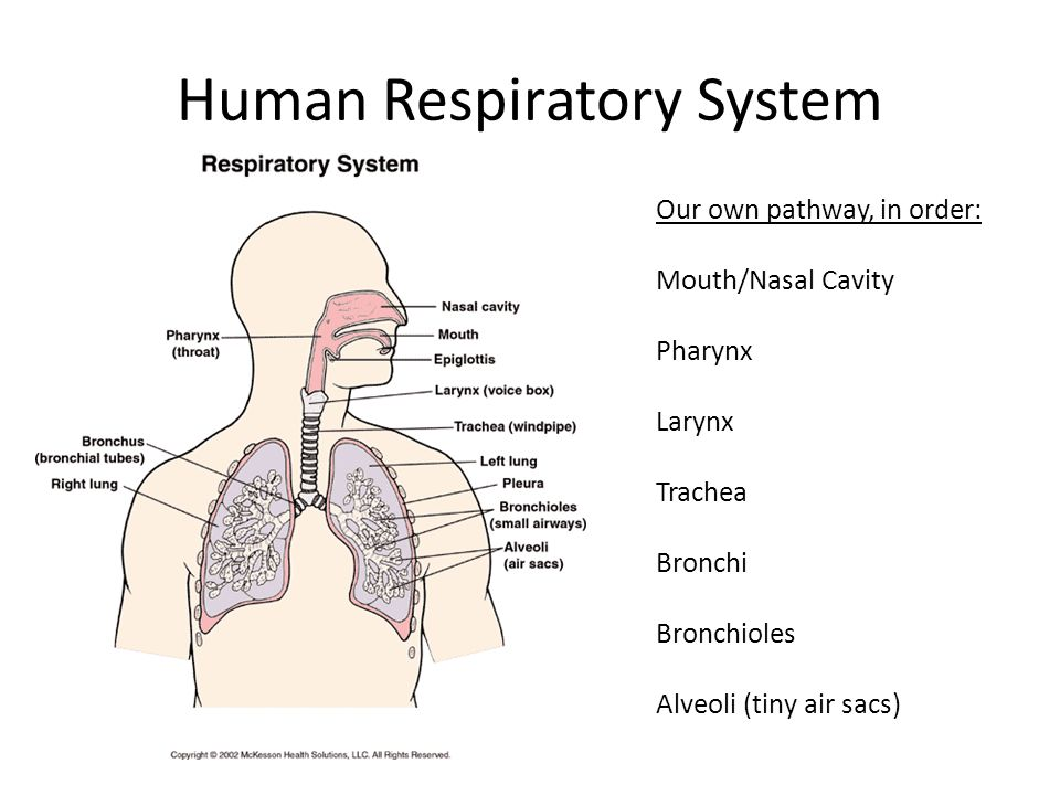 respiration & gas exhange - ppt video online download respiratory pathway diagram lower respiratory system diagram #1
