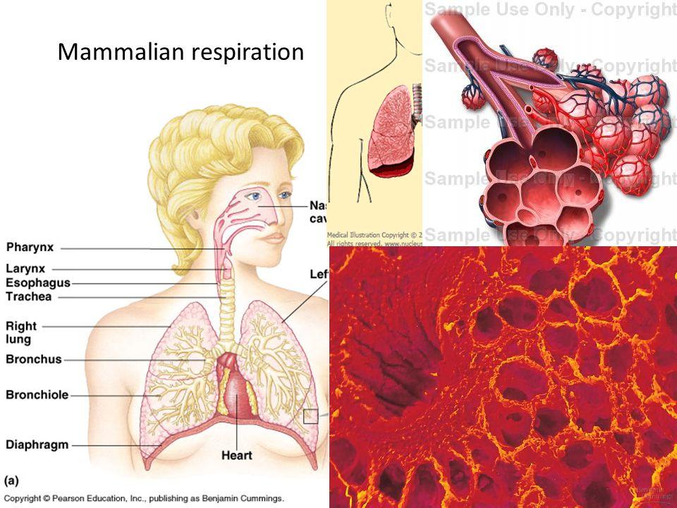 Mammalian respiration