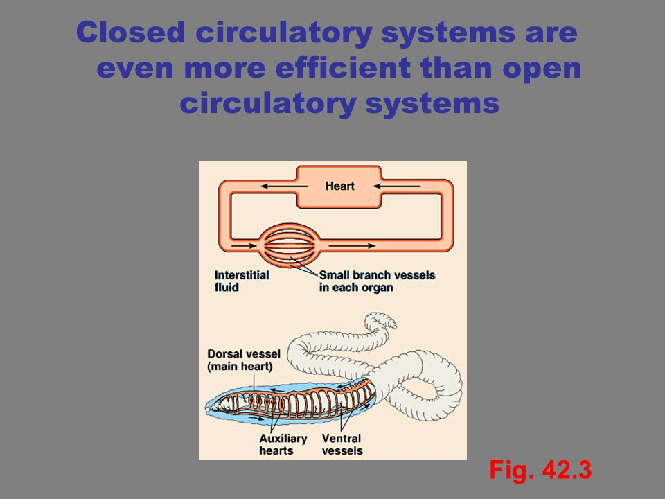 Closed circulatory systems are even more efficient than open circulatory systems