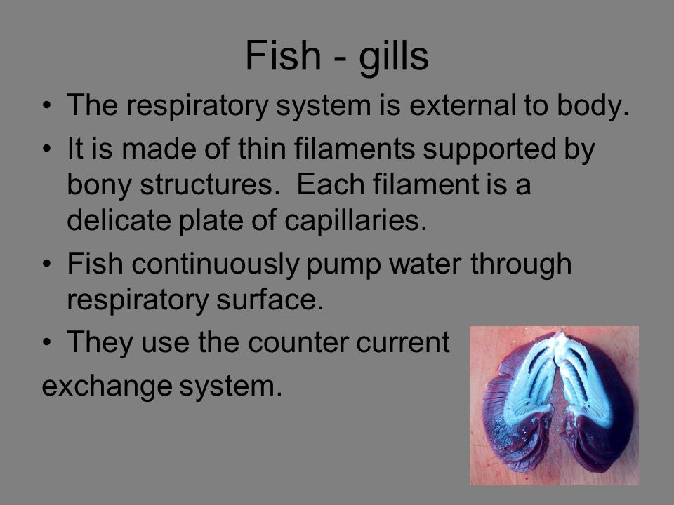 Fish - gills The respiratory system is external to body.