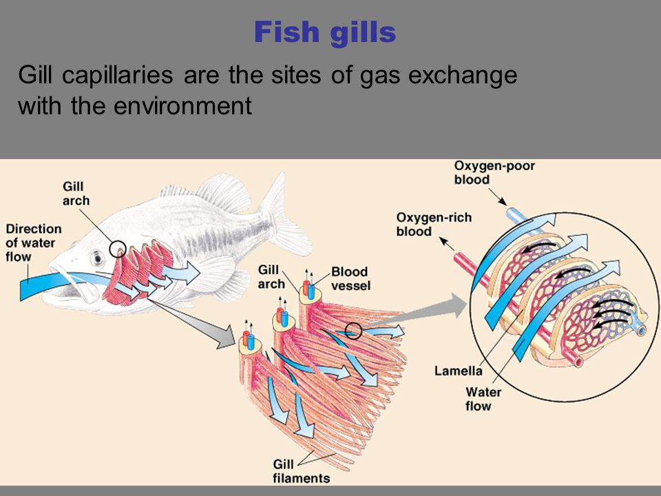 Fish gills Gill capillaries are the sites of gas exchange