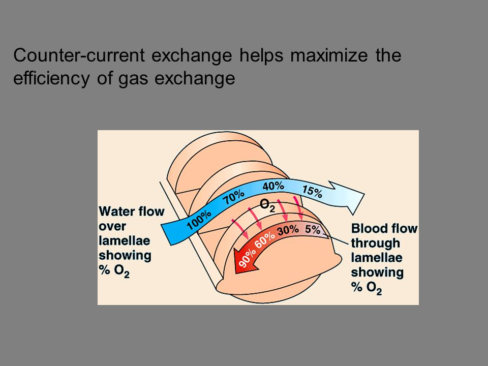Counter-current exchange helps maximize the efficiency of gas exchange