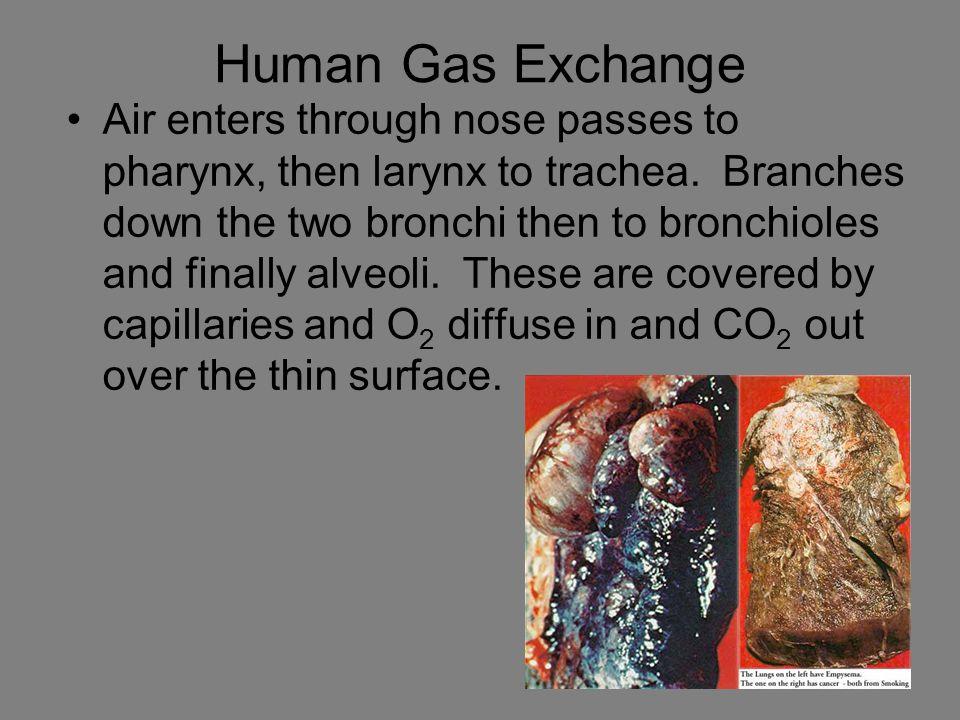 Human Gas Exchange