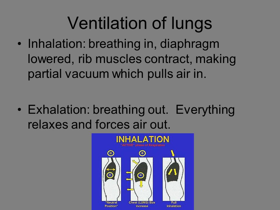 Ventilation of lungs Inhalation: breathing in, diaphragm lowered, rib muscles contract, making partial vacuum which pulls air in.