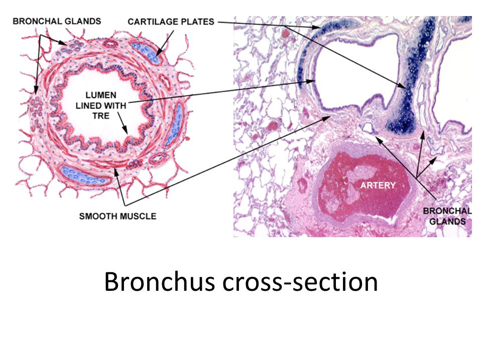 Bronchus cross-section