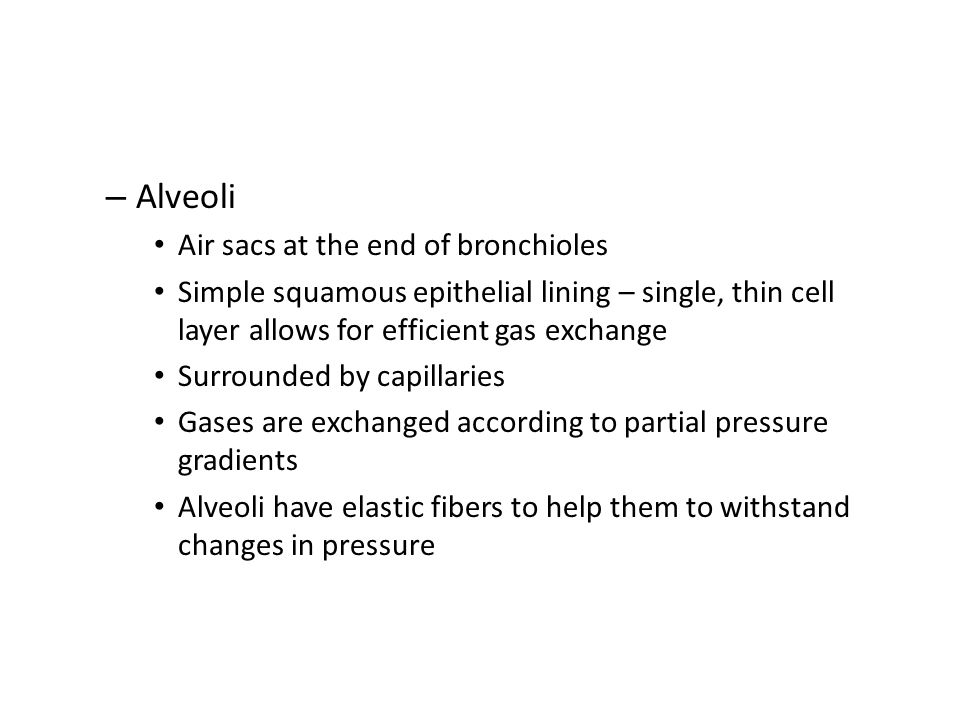 Alveoli Air sacs at the end of bronchioles