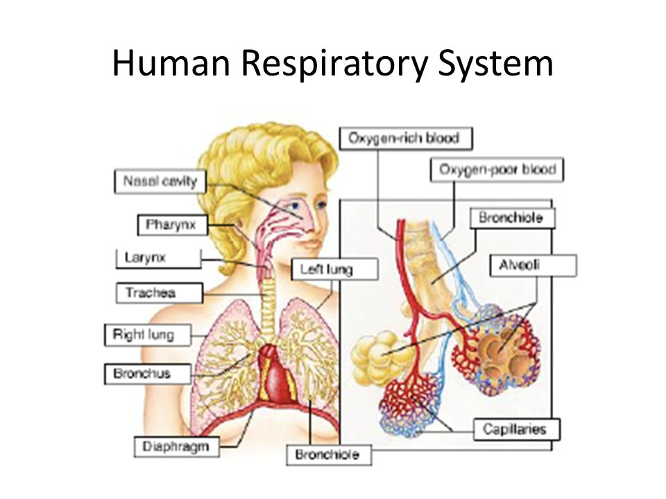 Gas exchange and smoking ppt video online download 3 human respiratory system ccuart Gallery