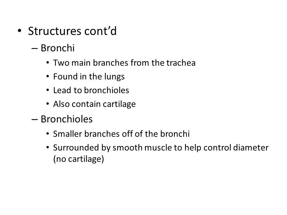 Structures cont'd Bronchi Bronchioles