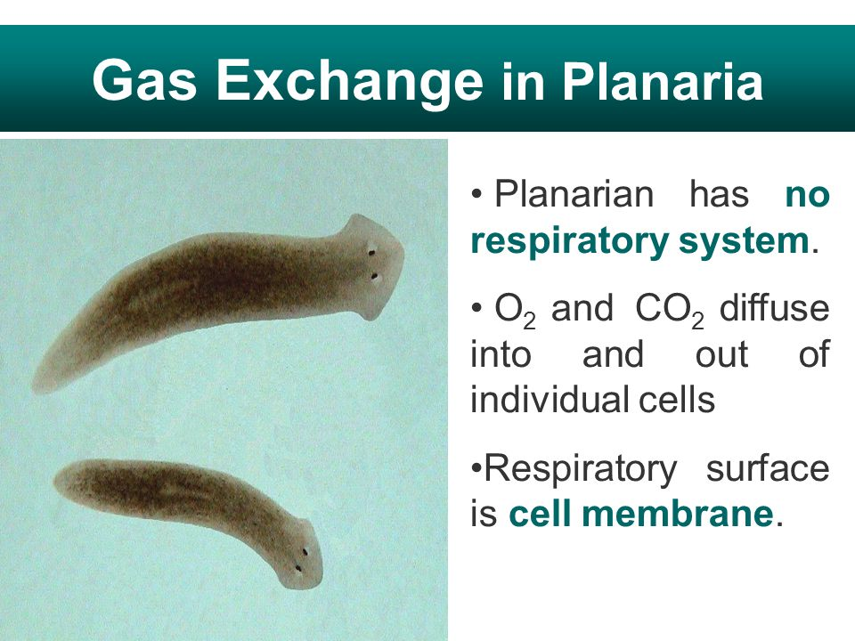 Gas Exchange in Planaria