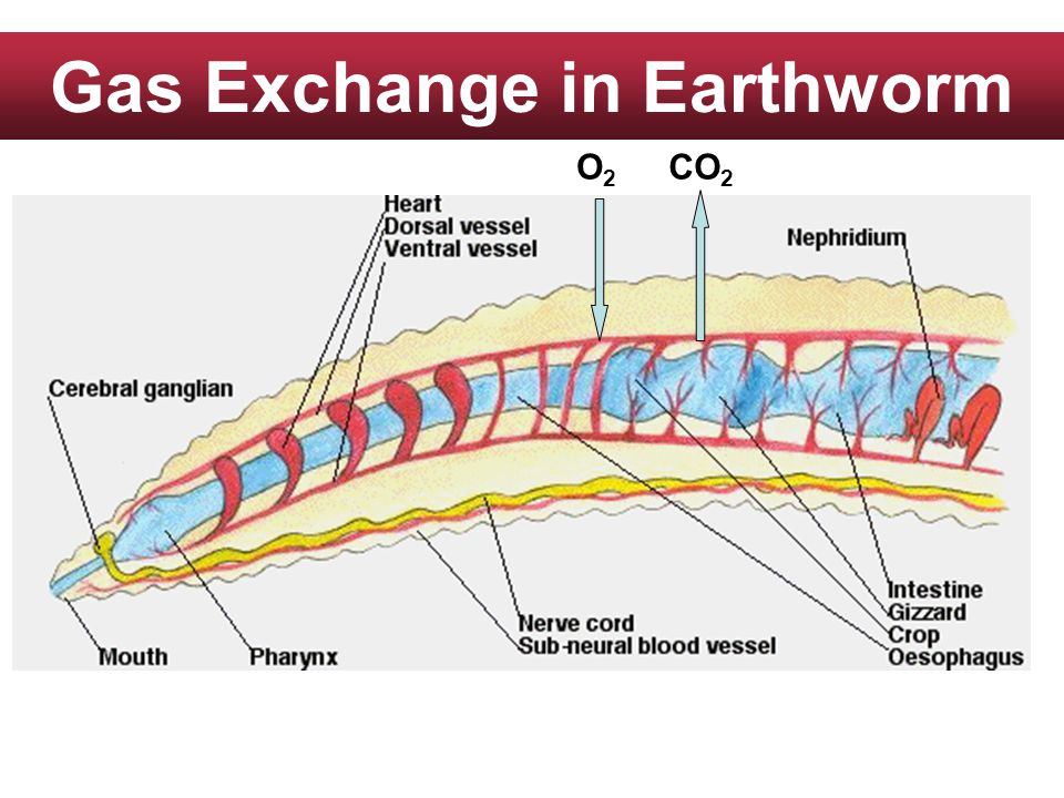 Gas Exchange in Earthworm