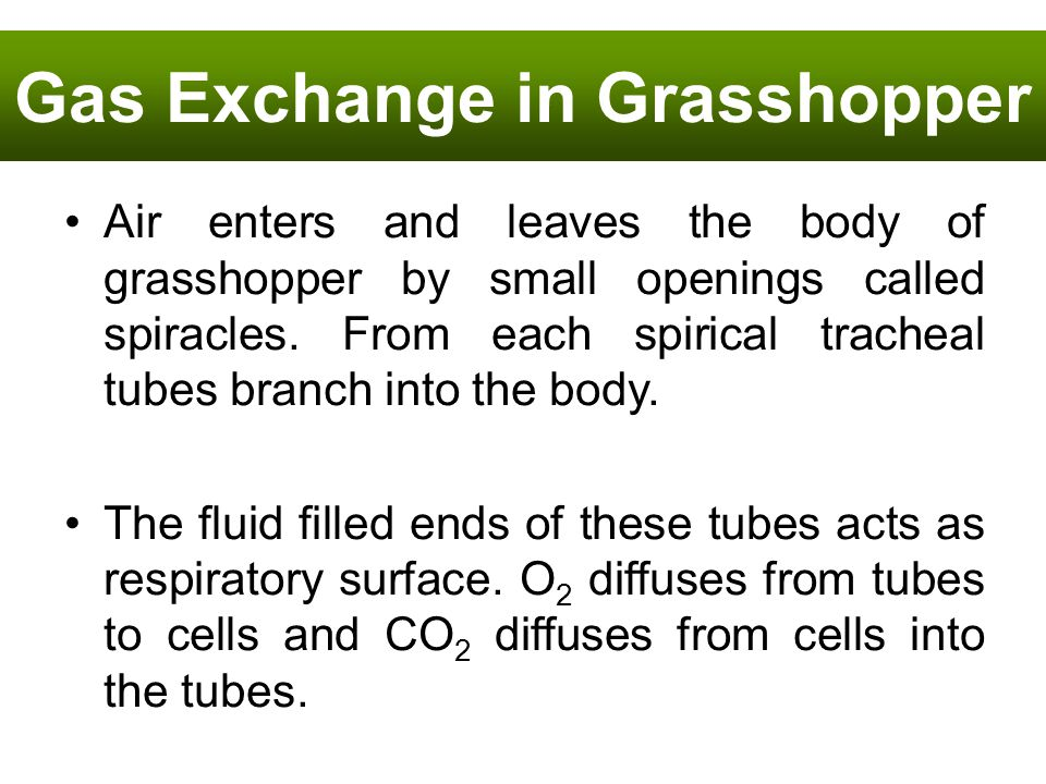 Gas Exchange in Grasshopper