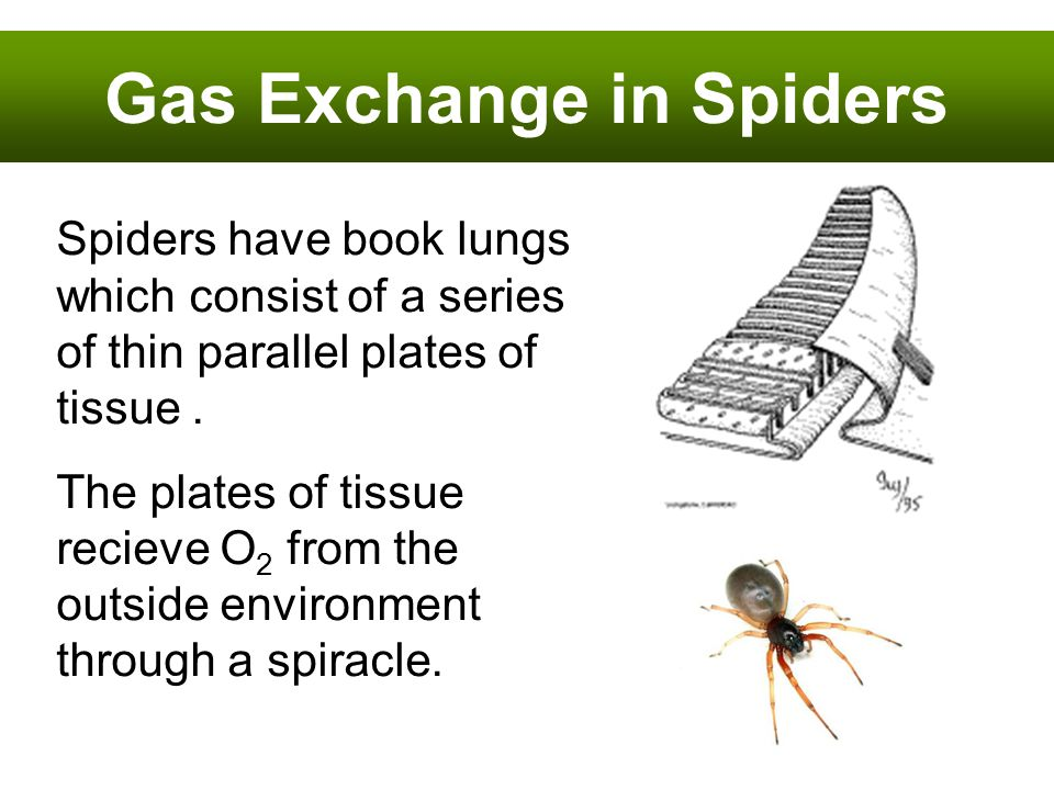 Gas Exchange in Spiders