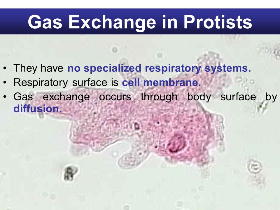 Gas Exchange in Protists