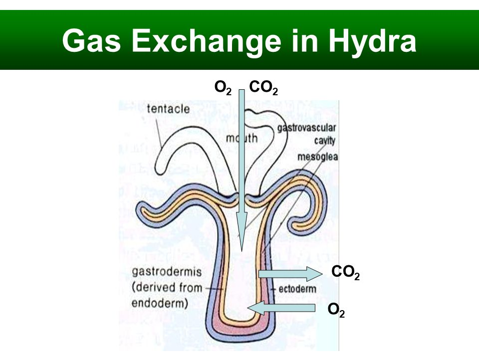 Gas Exchange in Hydra O2 CO2 CO2 O2