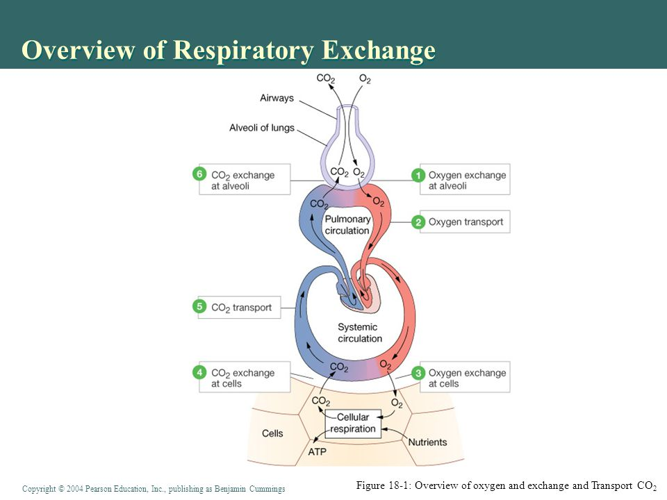 the gas exchange and transport The respiratory system and gas exchange | bodies and respiration  the  aerobic respiratory machinery of kreb's cycle and the electron transport system  to.