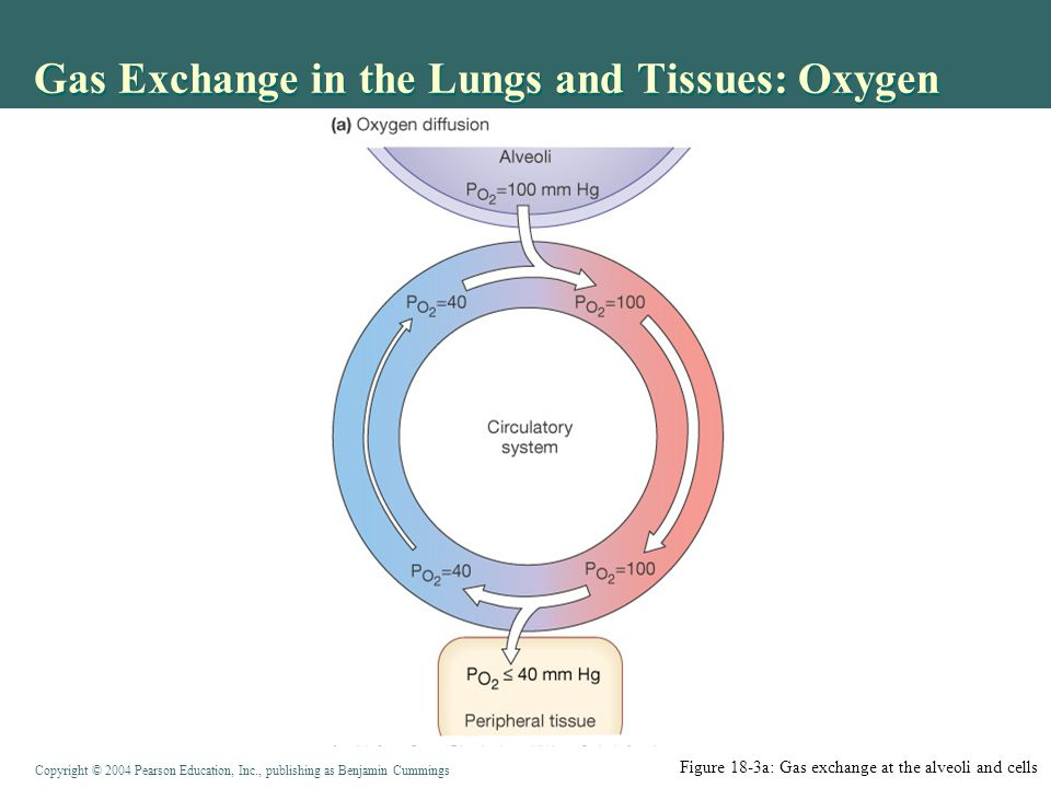 Gas Exchange in the Lungs and Tissues: Oxygen