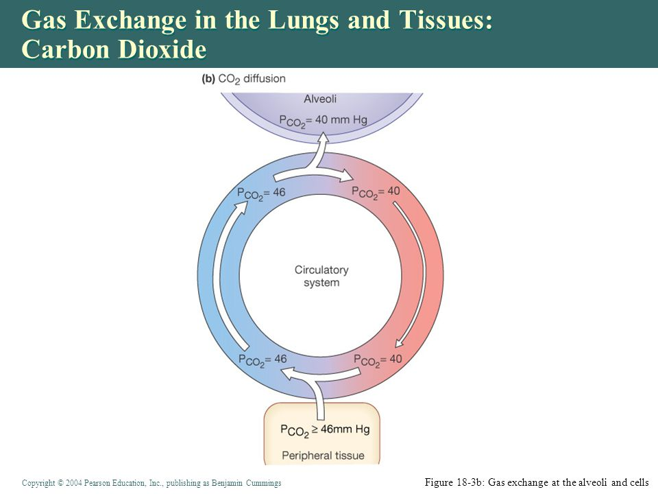Gas Exchange in the Lungs and Tissues: Carbon Dioxide