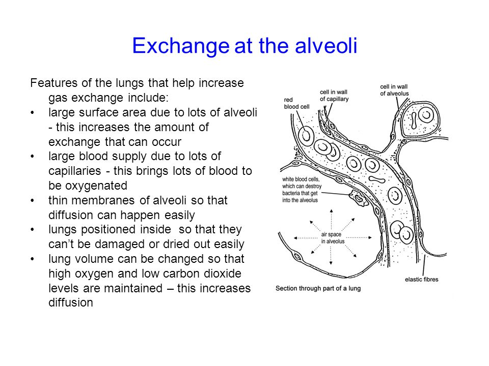 Exchange at the alveoli
