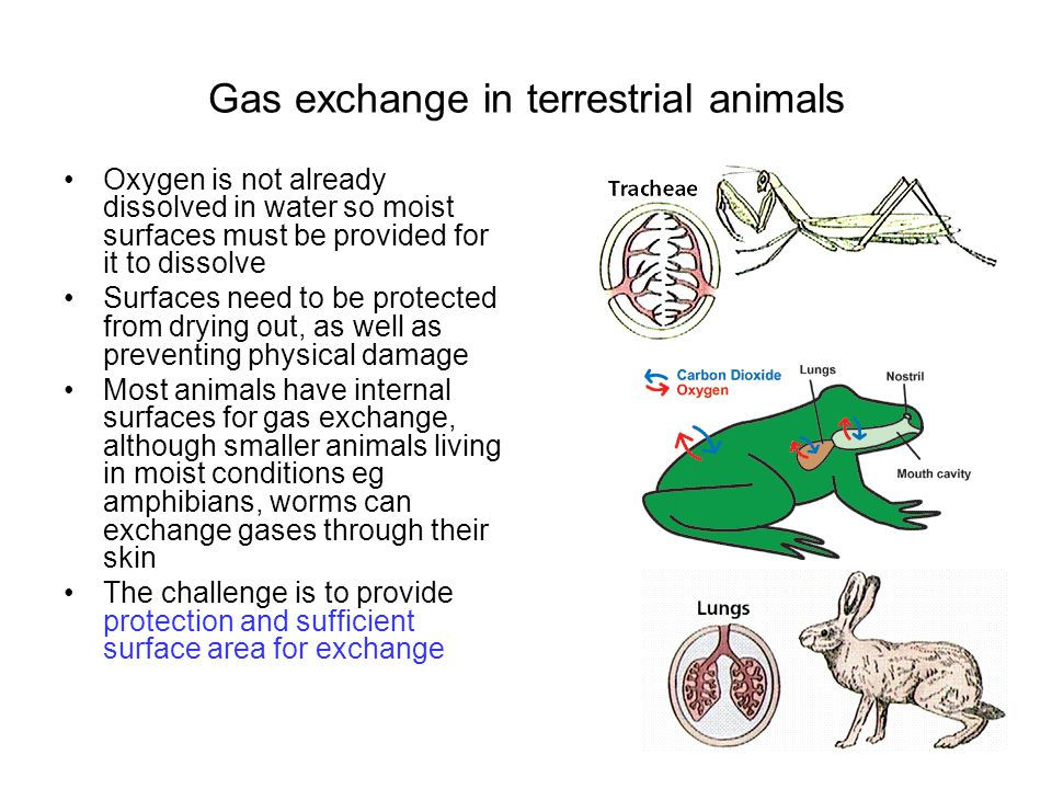 Gas exchange in terrestrial animals