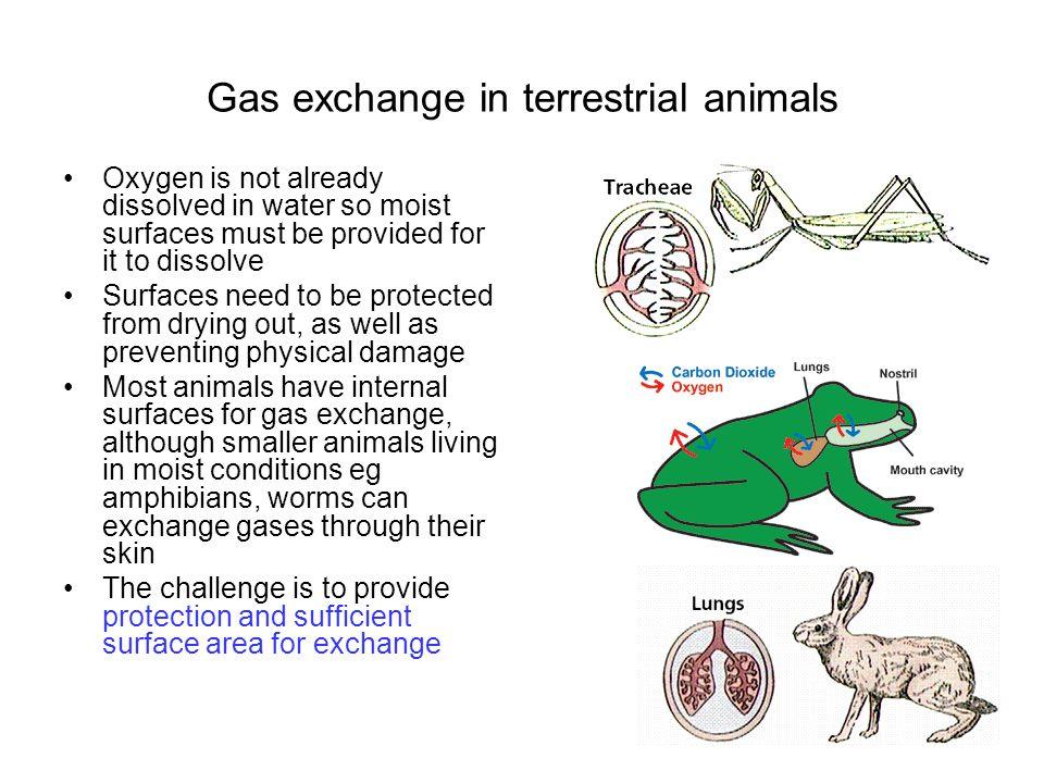 Gas exchange in terrestrial animals