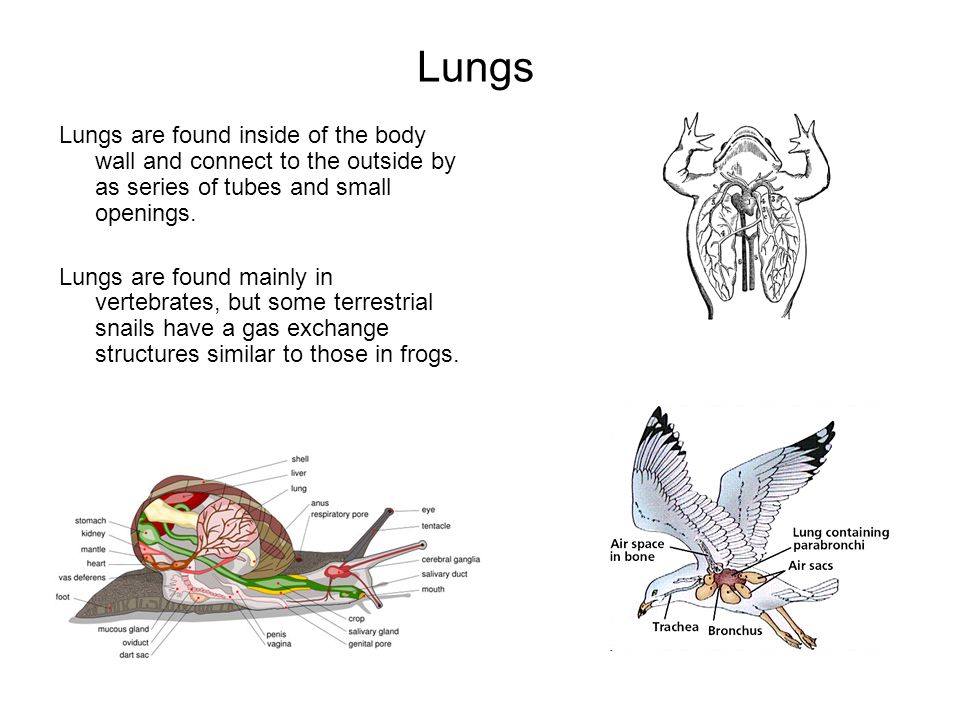 Lungs Lungs are found inside of the body wall and connect to the outside by as series of tubes and small openings.