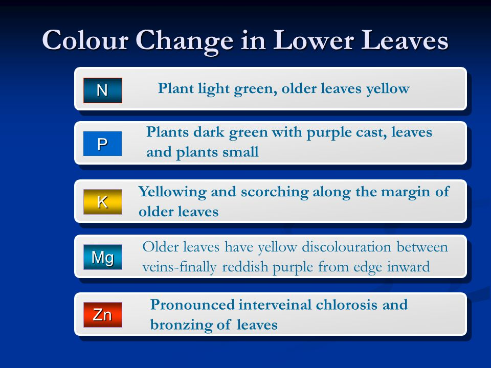 Colour Change in Lower Leaves