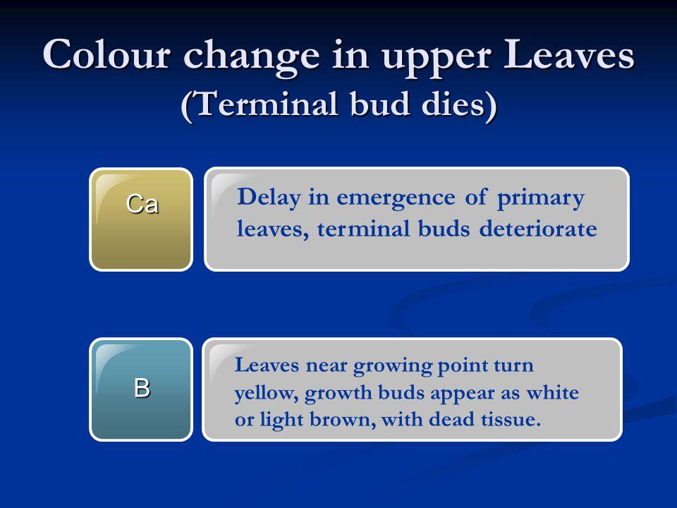 Colour change in upper Leaves (Terminal bud dies)