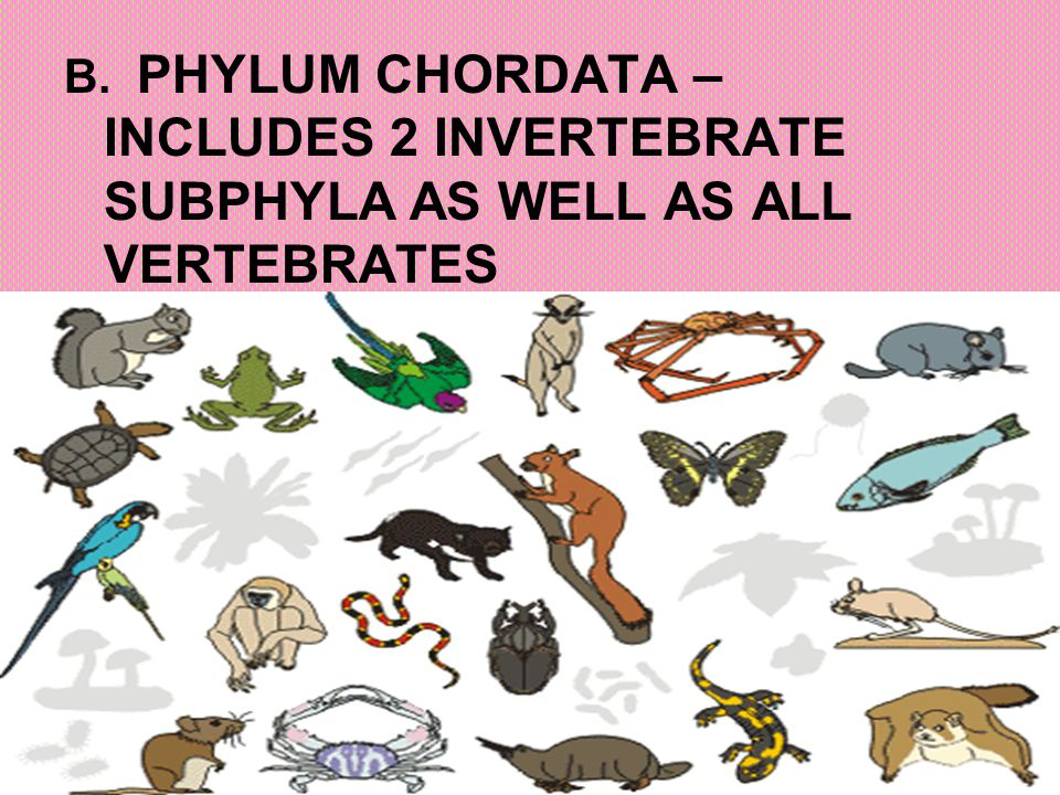 B. PHYLUM CHORDATA – INCLUDES 2 INVERTEBRATE SUBPHYLA AS WELL AS ALL VERTEBRATES