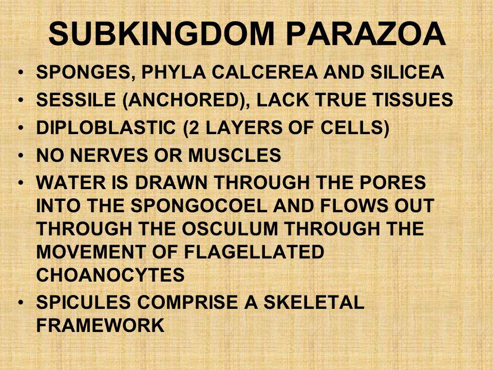 SUBKINGDOM PARAZOA SPONGES, PHYLA CALCEREA AND SILICEA