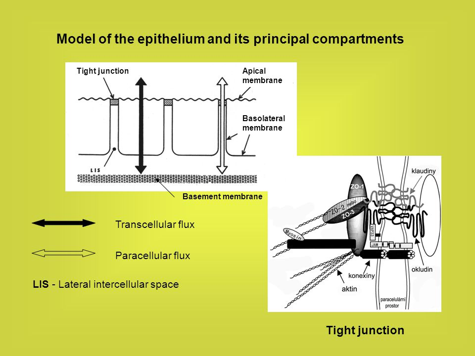 Model of the epithelium and its principal compartments