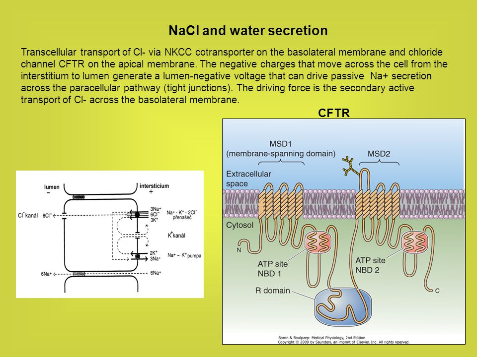NaCl and water secretion
