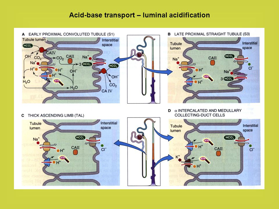 Acid-base transport – luminal acidification