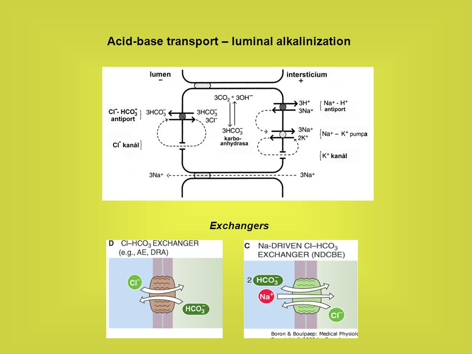 Acid-base transport – luminal alkalinization