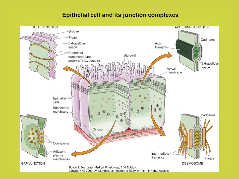 Epithelial cell and its junction complexes