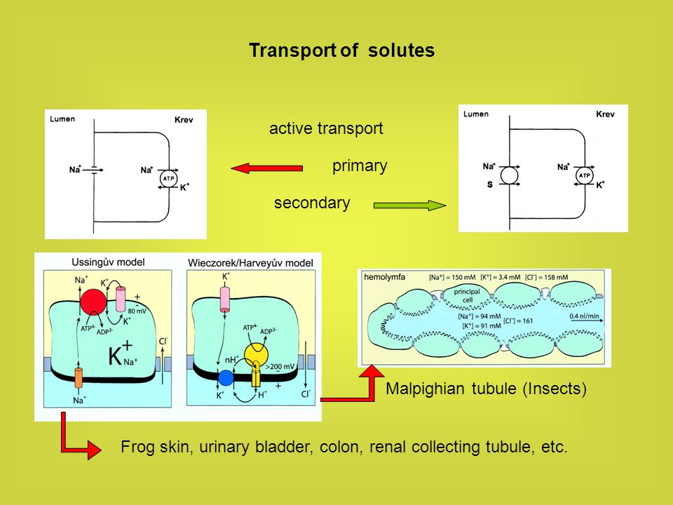 Transport of solutes active transport primary secondary