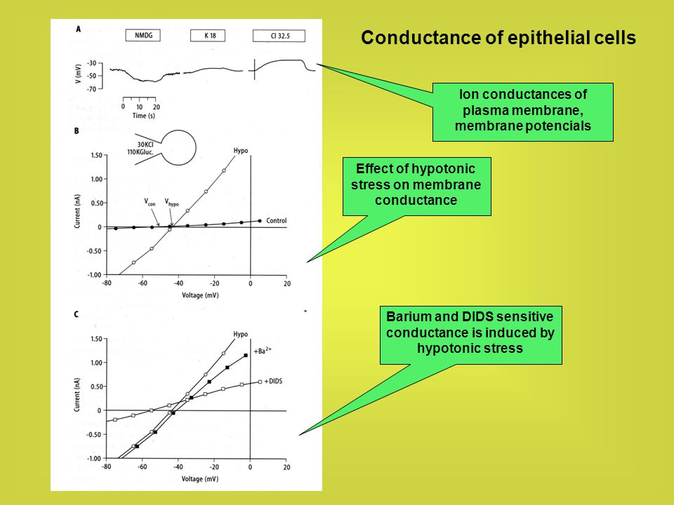 Conductance of epithelial cells