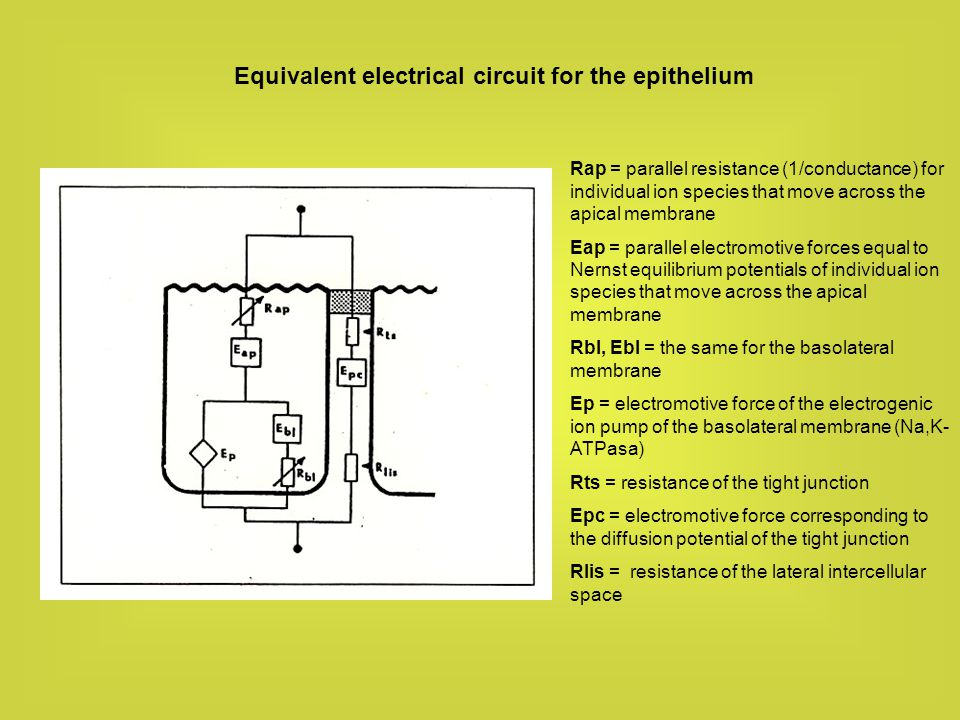 Equivalent electrical circuit for the epithelium