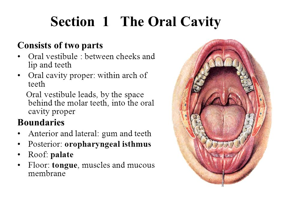 Section 1 The Oral Cavity
