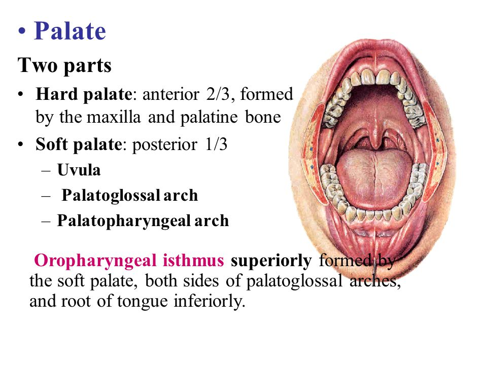 Palate Two parts. Hard palate: anterior 2/3, formed by the maxilla and palatine bone. Soft palate: posterior 1/3.
