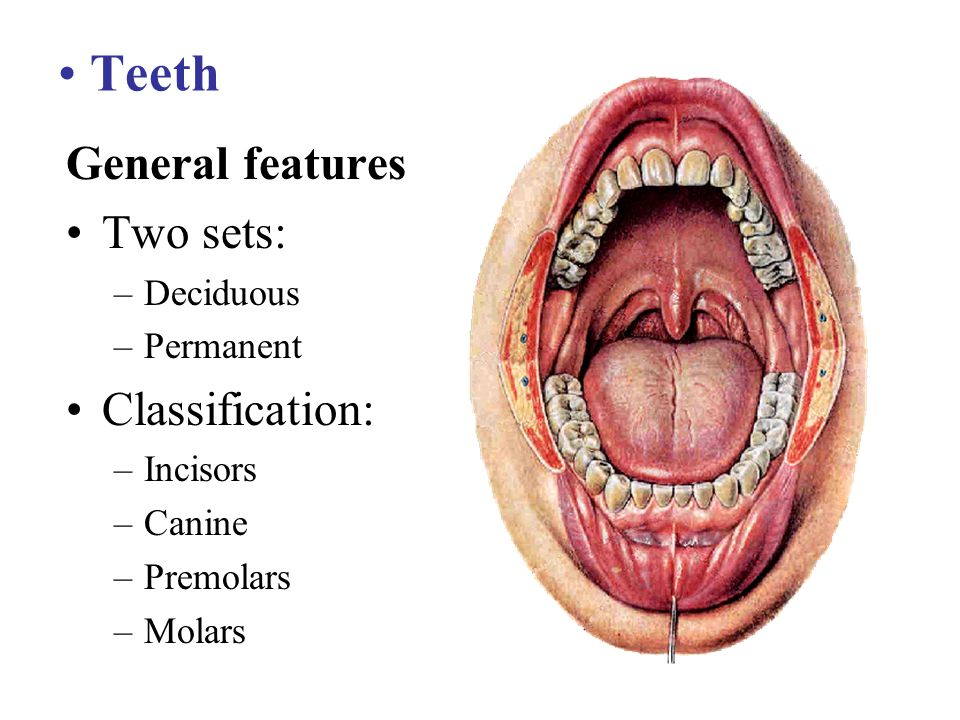 Teeth General features Two sets: Classification: Deciduous Permanent