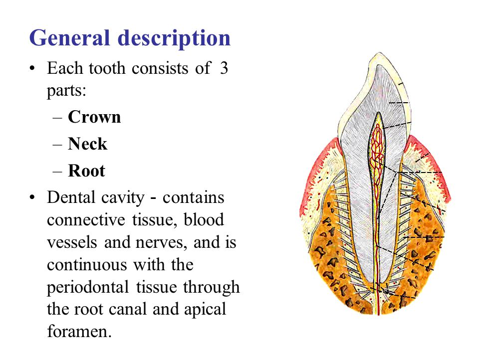 General description Each tooth consists of 3 parts: Crown Neck Root