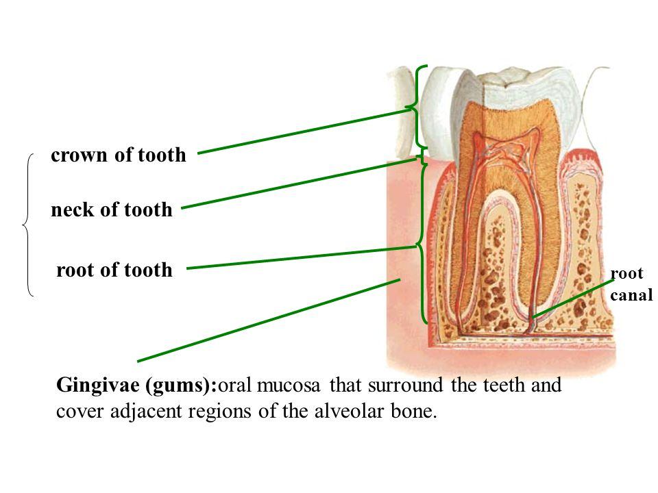 crown of tooth neck of tooth root of tooth