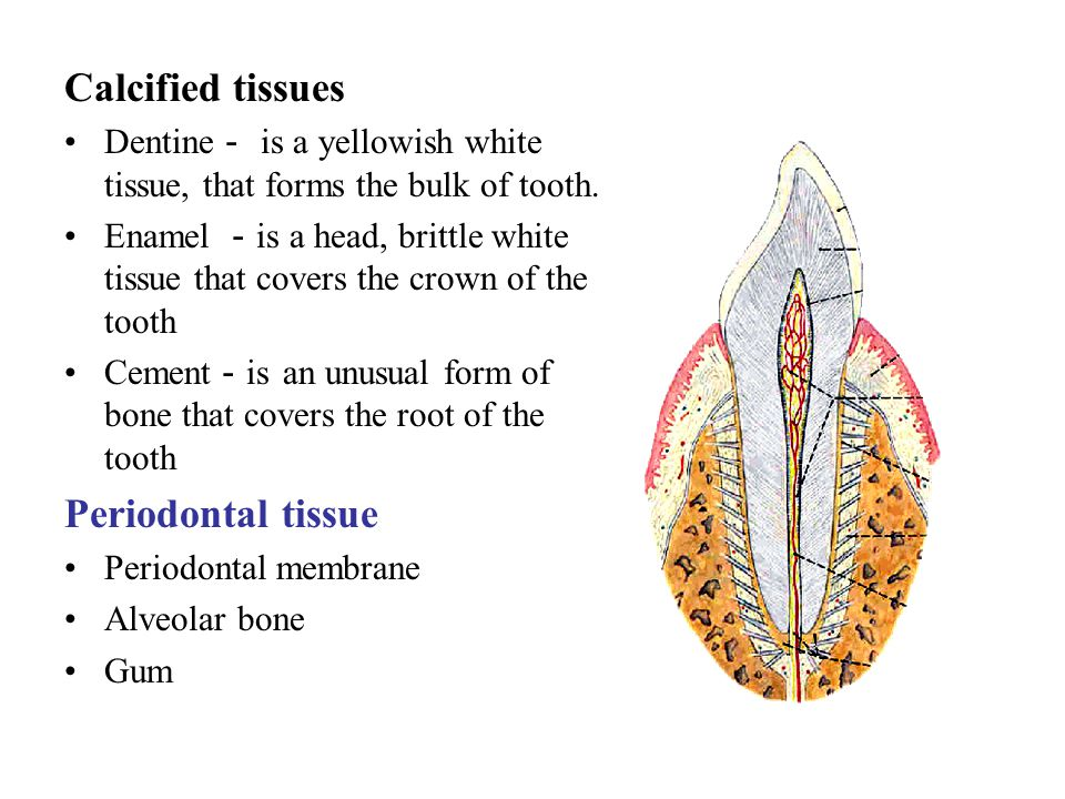 Calcified tissues Periodontal tissue